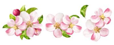 有绿色叶子的苹果树开花 被设置的春天花 库存图片