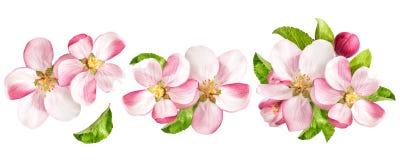 有绿色叶子的苹果树开花 被设置的春天花 库存照片