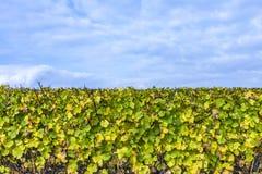有黄色叶子的葡萄园在蓝天下 免版税库存图片