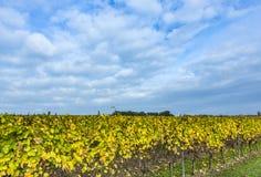 有黄色叶子的葡萄园在蓝天下 库存图片
