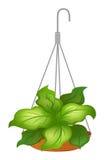 有绿色叶茂盛植物的一个垂悬的罐 库存照片
