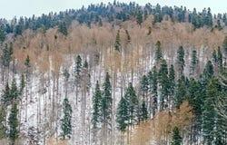 有黄色和绿色树的,与雪的冬时山森林 库存照片