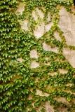 有绿色常春藤叶子的墙壁 库存图片