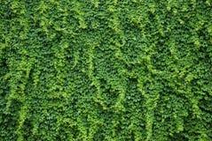 有绿色常春藤叶子的墙壁 免版税库存图片