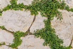有绿色常春藤叶子的年迈的石砖墙在马泰拉,意大利使用 库存图片