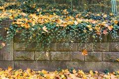 有绿色常春藤和黄色死的叶子的石墙 免版税库存图片