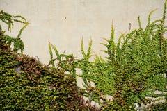 有绿色常春藤的墙壁 免版税库存照片