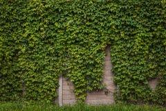 有绿色常春藤的墙壁 免版税库存图片