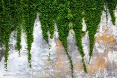 有绿色常春藤的老混凝土墙 免版税库存照片