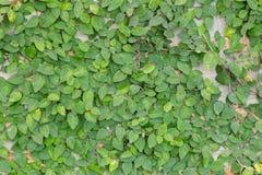 有绿色常春藤覆盖的砖墙 免版税库存图片