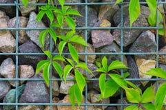 有绿色植物上升的石和钢格栅墙壁 免版税库存图片