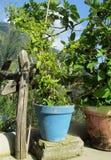 有绿色植物的蓝色罐 免版税库存图片