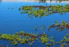 有绿色植被漂浮的蓝色湖 免版税库存图片