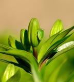 有绿色甲虫nezara viridula的百合芽 库存照片