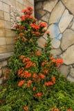 有绿色的橙色花植物在风景的角落离开与自然石头在德波拍的被构造的墙壁照片 免版税库存照片