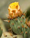 有黄色花的宏观仙人掌厂 免版税库存照片