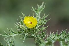 有黄色花的棘手的野生植物 图库摄影