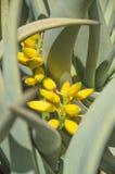 有黄色花的龙舌兰植物 免版税图库摄影