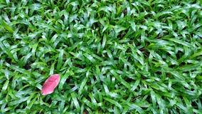有绿色草坪的一片干燥叶子 库存照片