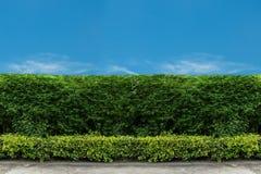 有绿色草坪的绿色篱芭 库存图片