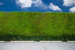 有绿色草坪的绿色篱芭 免版税库存图片
