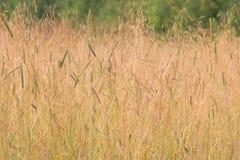 有黄色草的草甸在风夏天阴云密布天 库存照片