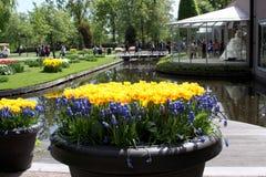 有黄色郁金香和蓝色风信花的花瓶 免版税库存照片