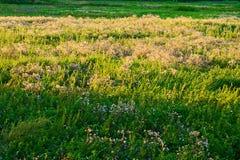 有绿色青绿草和蓟的草甸,照亮通过平衡太阳 图库摄影