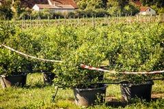 有黑莓灌木的果树园,季节性果子采摘 免版税库存照片