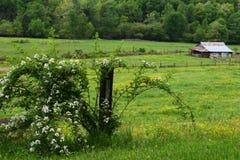 有黑莓灌木的西部NC山谷仓在左边 图库摄影