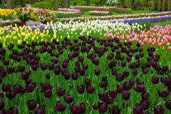 有黑郁金香的五颜六色的春天花圃 库存照片