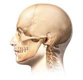 有头骨的男性人头在鬼魂作用,侧视图。 免版税库存图片