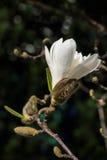 有bokeh的唯一白色木兰开花 库存照片