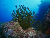 有caral的礁石的潜水者 图库摄影