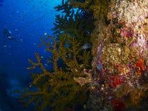有caral的礁石的潜水者 库存照片