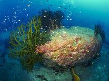 有caral的礁石的潜水者 免版税库存图片