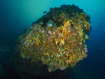 有caral的礁石的潜水者 免版税库存照片