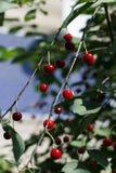 有cherryripe甜点的樱桃园 免版税库存照片
