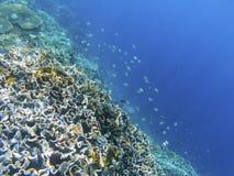 有dascillus鱼的珊瑚礁墙壁 异乎寻常的海岛岸 热带海滨风景水下的照片 免版税图库摄影