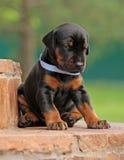 有Dobermann的小狗休息 库存照片