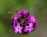 有hoverfly的头状花序 免版税库存照片