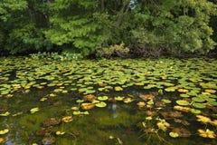 有lilly垫的池塘 库存照片
