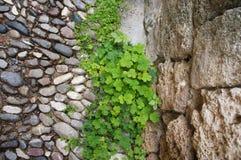 有oxalis和石头的小卵石路 库存照片
