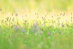 有ribwort大蕉的用花装饰的夏天草甸 库存图片