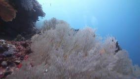 有Seafan的礁石的墙壁在Layang-layang海岛 股票视频