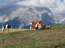 有Sesto白云岩母牛在前景和看法的,南蒂罗尔,意大利高山牧场地在背景中 免版税库存照片