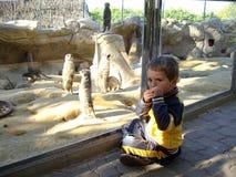 有suricats的男孩 库存照片