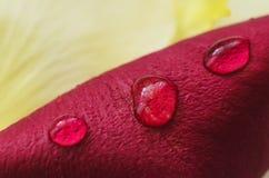 有waterdrops的红色瓣 免版税图库摄影