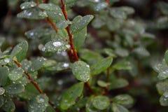 有waterdrops的绿色叶子 免版税库存图片