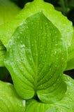 有waterdrops的绿色叶子 免版税库存照片